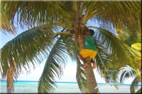 climbing coconut trees