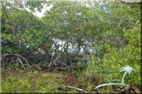 mangrove at the edges