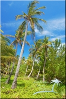 mature coconuts produce heavily on the island